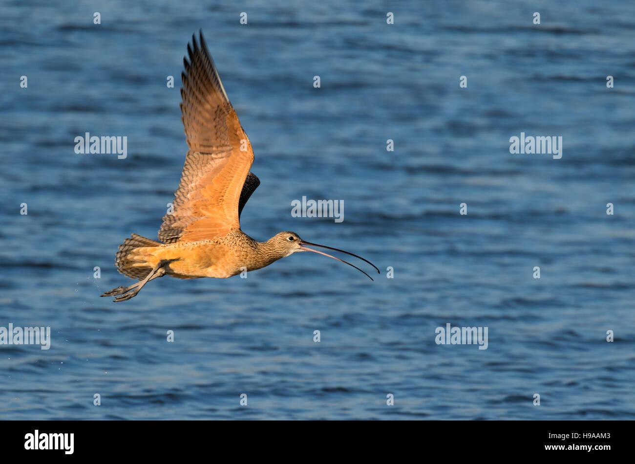 Long-billed curlew (Numenius americanus) flying over the ocean, Galveston, Texas, USA - Stock Image