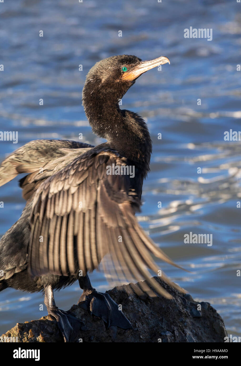 Neotropic or olivaceous cormorant (Phalacrocorax brasilianus) drying feathers after swimming, Galveston, Texas, - Stock Image