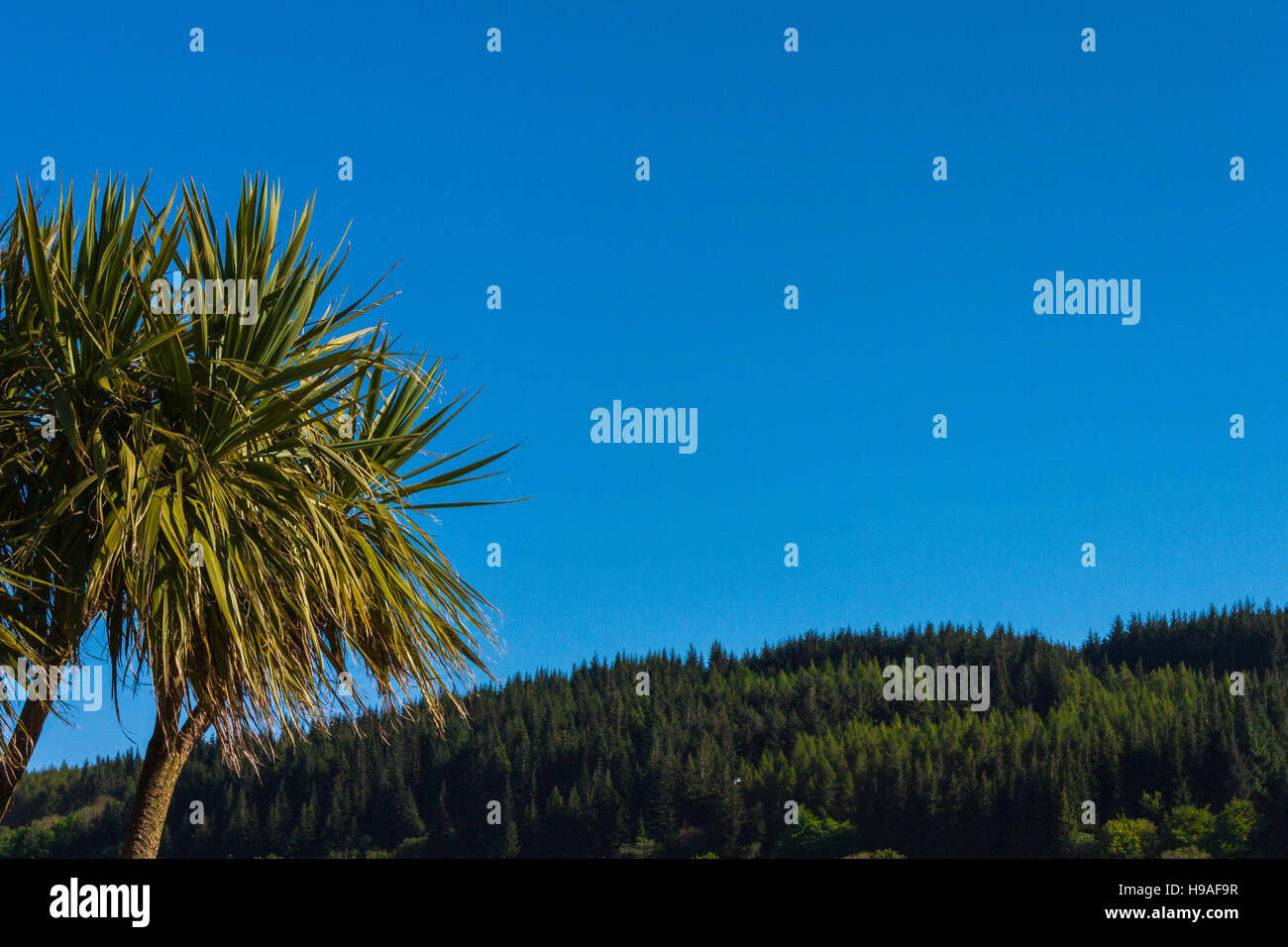 Tropical looking tree against a deep blue sky with woodland in the distance. Lamlash, Arran, Scotland. Stock Photo