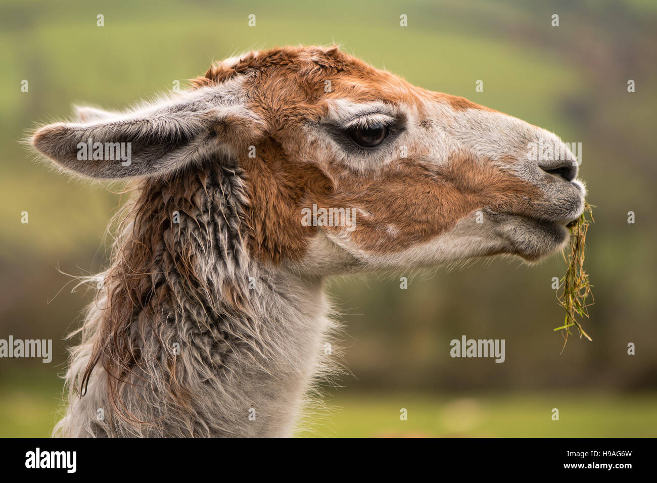 Llama head with grass hanging from mouth. Brown and white camelid in profile chewing grass with matted hair - Stock Image