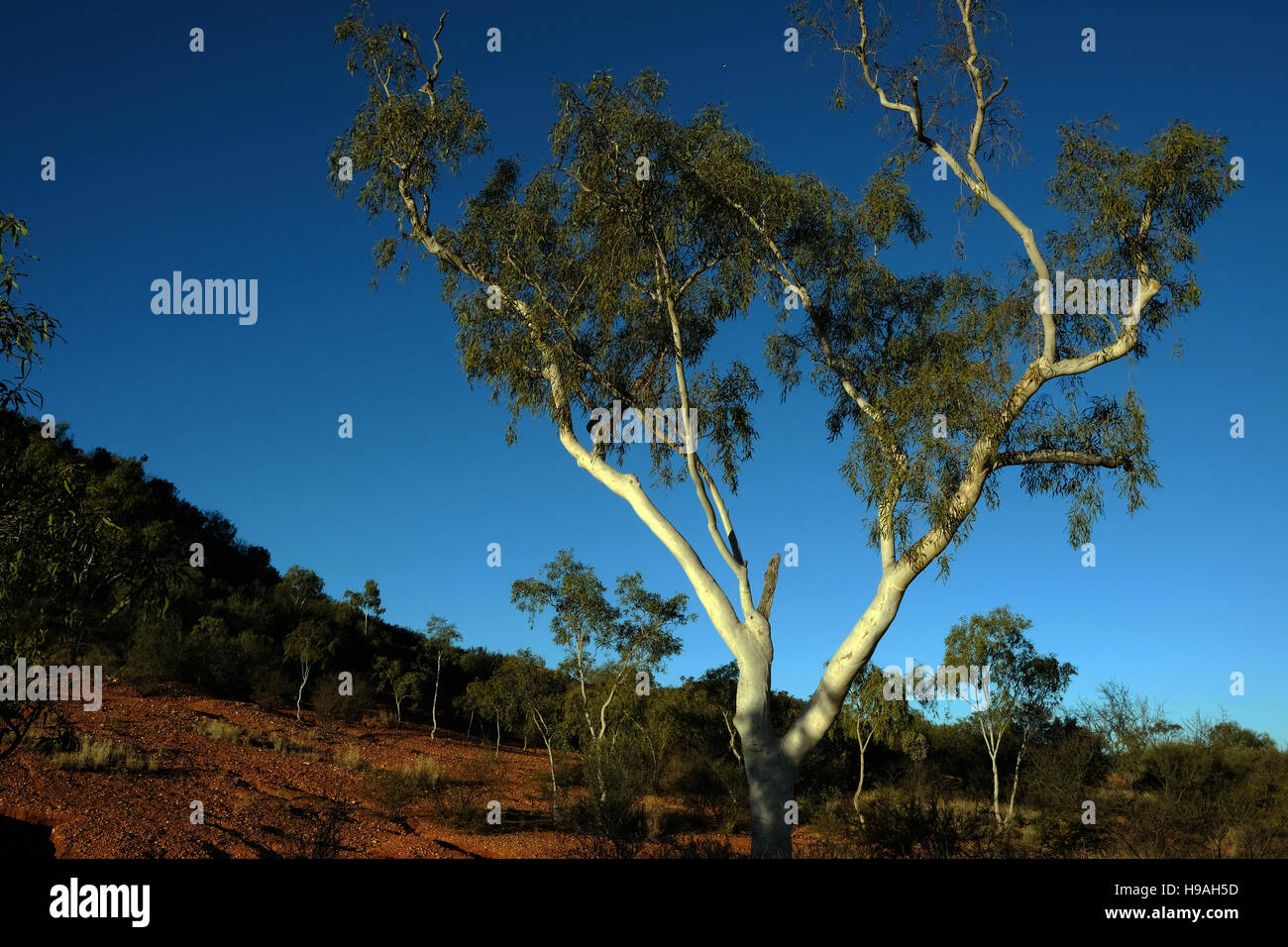 Gum trees in the Macdonnell Ranges, Alice Springs, Northern Territory, Australia - Stock Image
