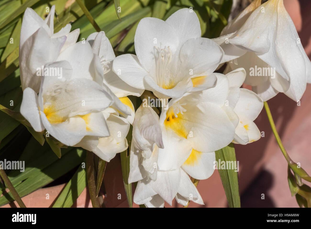 White Freesia Flower Stock Photo 126239929 Alamy