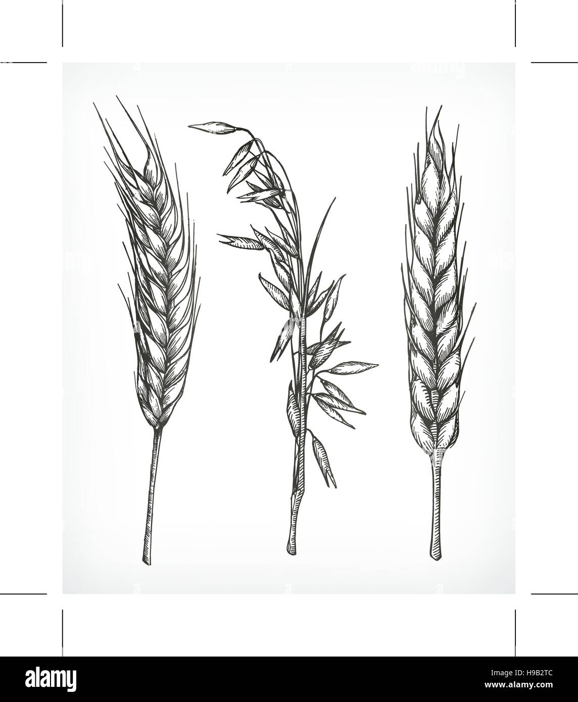 Crops Wheat And Oat Sketches Hand Drawing Vector Set Stock Vector