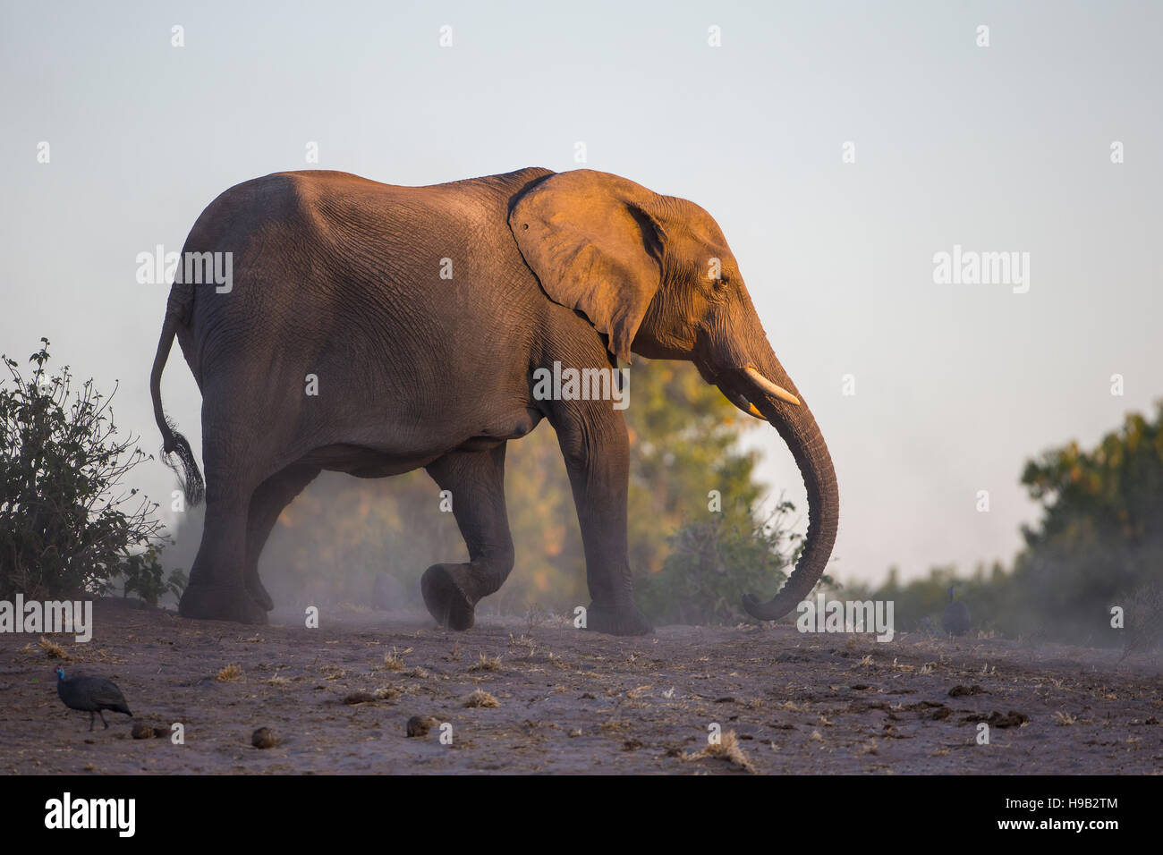 Mighty African Elephant Loxodonta africana creating dust in the dry earth - Stock Image