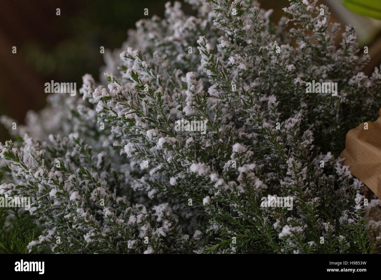 Snow frost tipped calluna heather winter foliage for decoration or planting - Stock Image