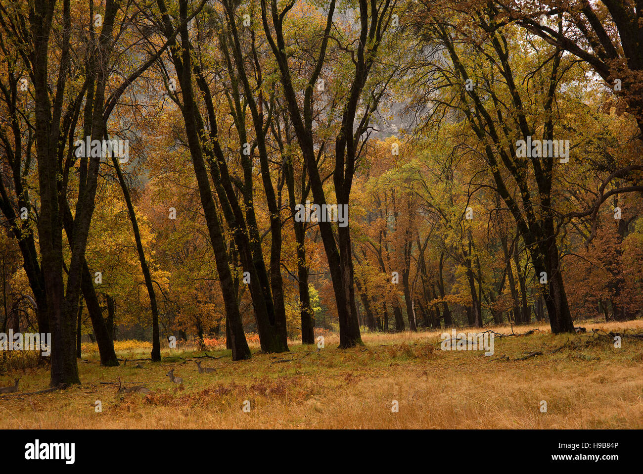 Deer rest under a fall canopy of colored leaves on the valley floor of Yosemite National Park Stock Photo