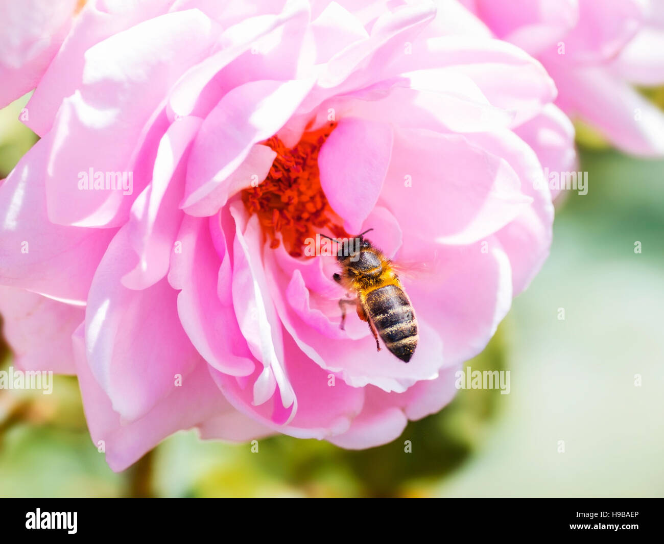 Bee Pollinating a Rose - Stock Image