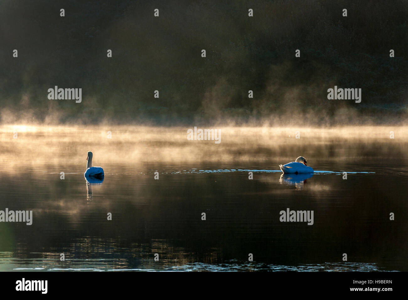 Ardara, County Donegal, Ireland weather. 21st November 2016. Swans on Lake Shanaghan on a cold, crisp winter morning. - Stock Image