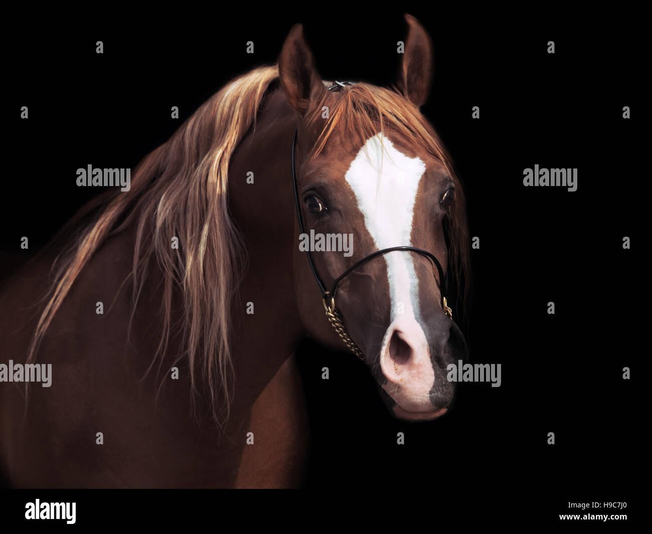 portrait od adult arabian stallion at black background - Stock Image