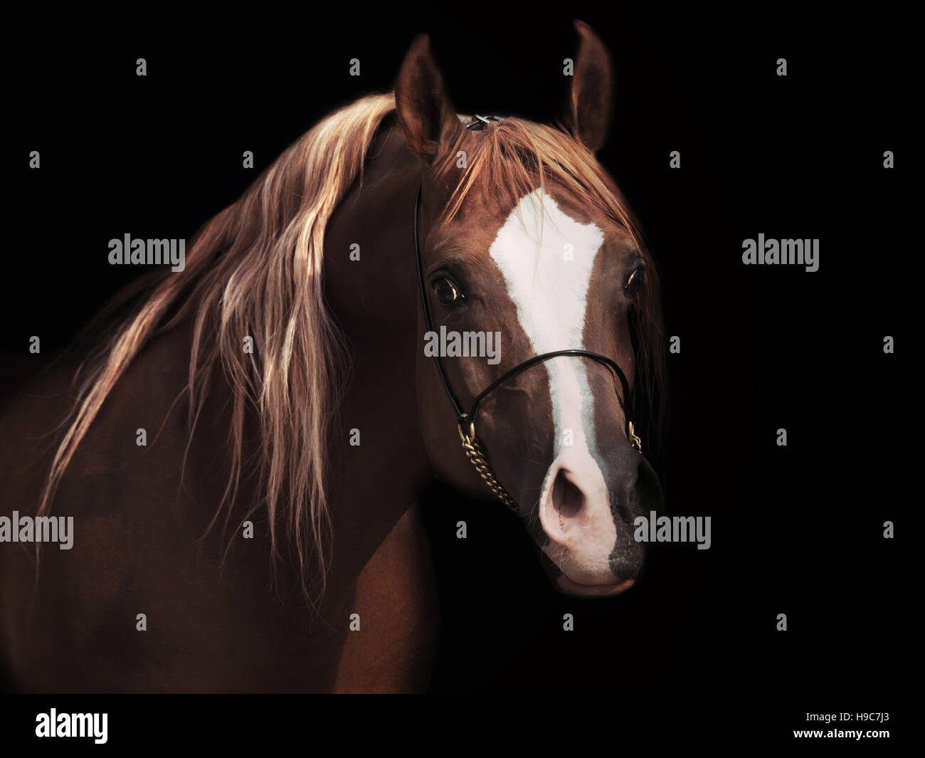 portrait od adult arabian stallion at black background - Stock Image