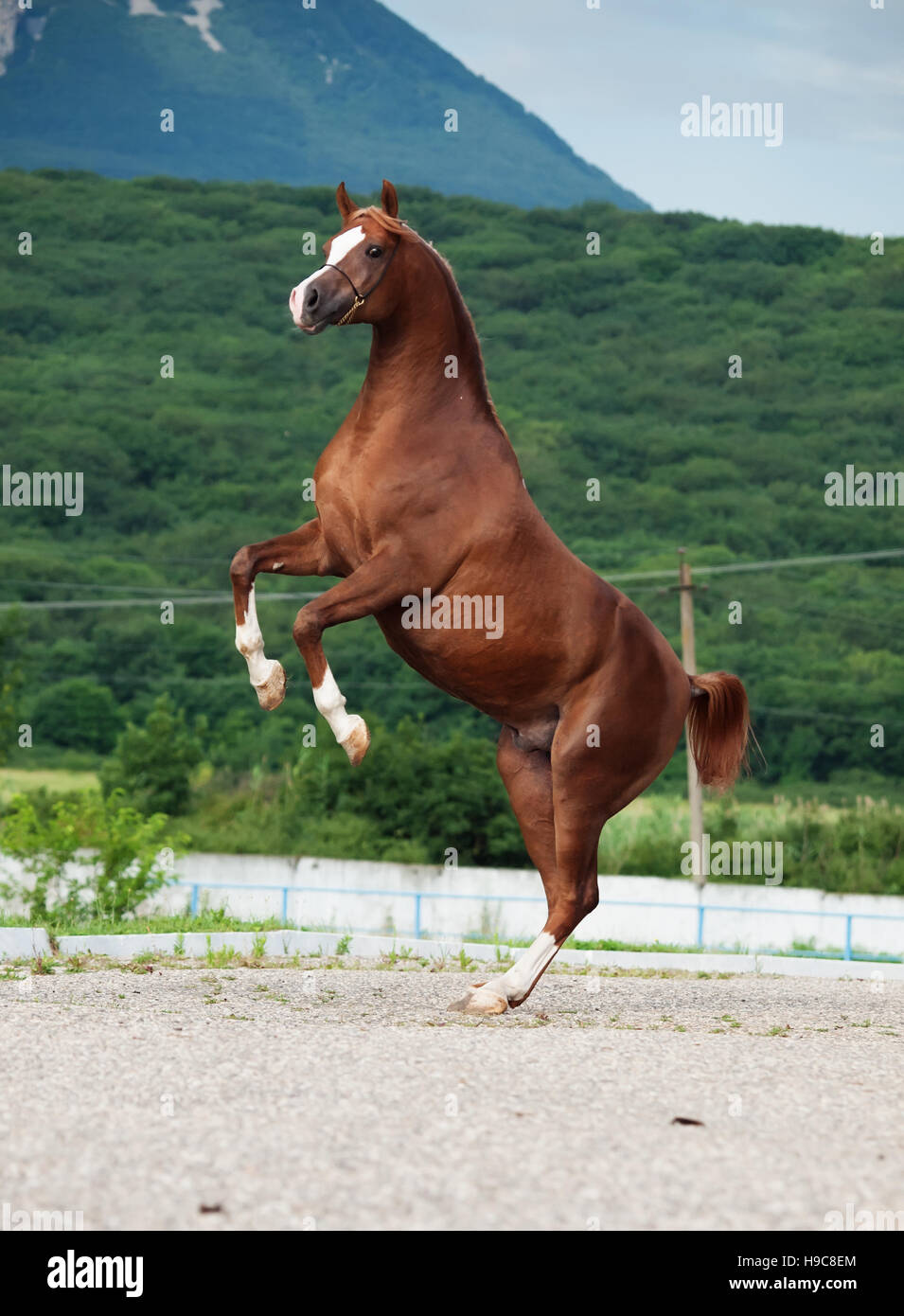arabian chestnut stallion rearing. at mountain background - Stock Image