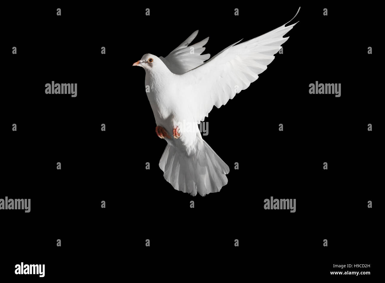 Homing Pigeon With Spread Wings Isolated On Blackpostal Dove