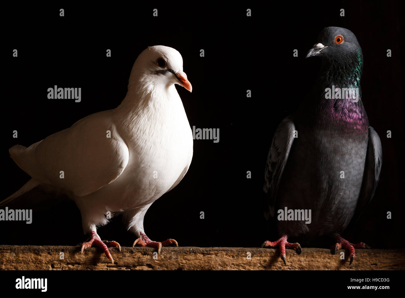 Black And White Dove On A Black Backgroundpostal Dove Symbol Of