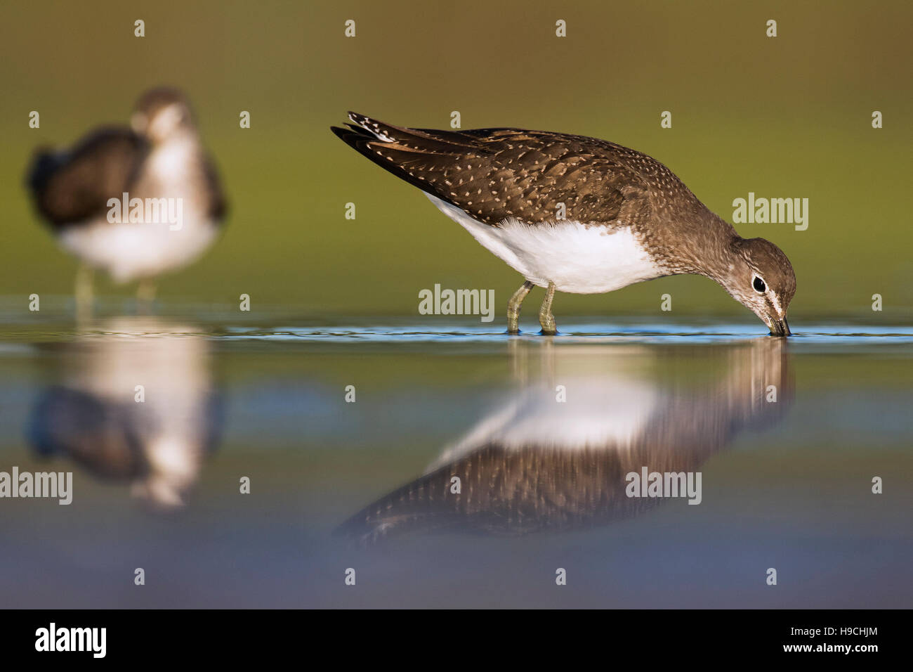 Two green sandpipers (Tringa ochropus) foraging in shallow water of mudflat - Stock Image