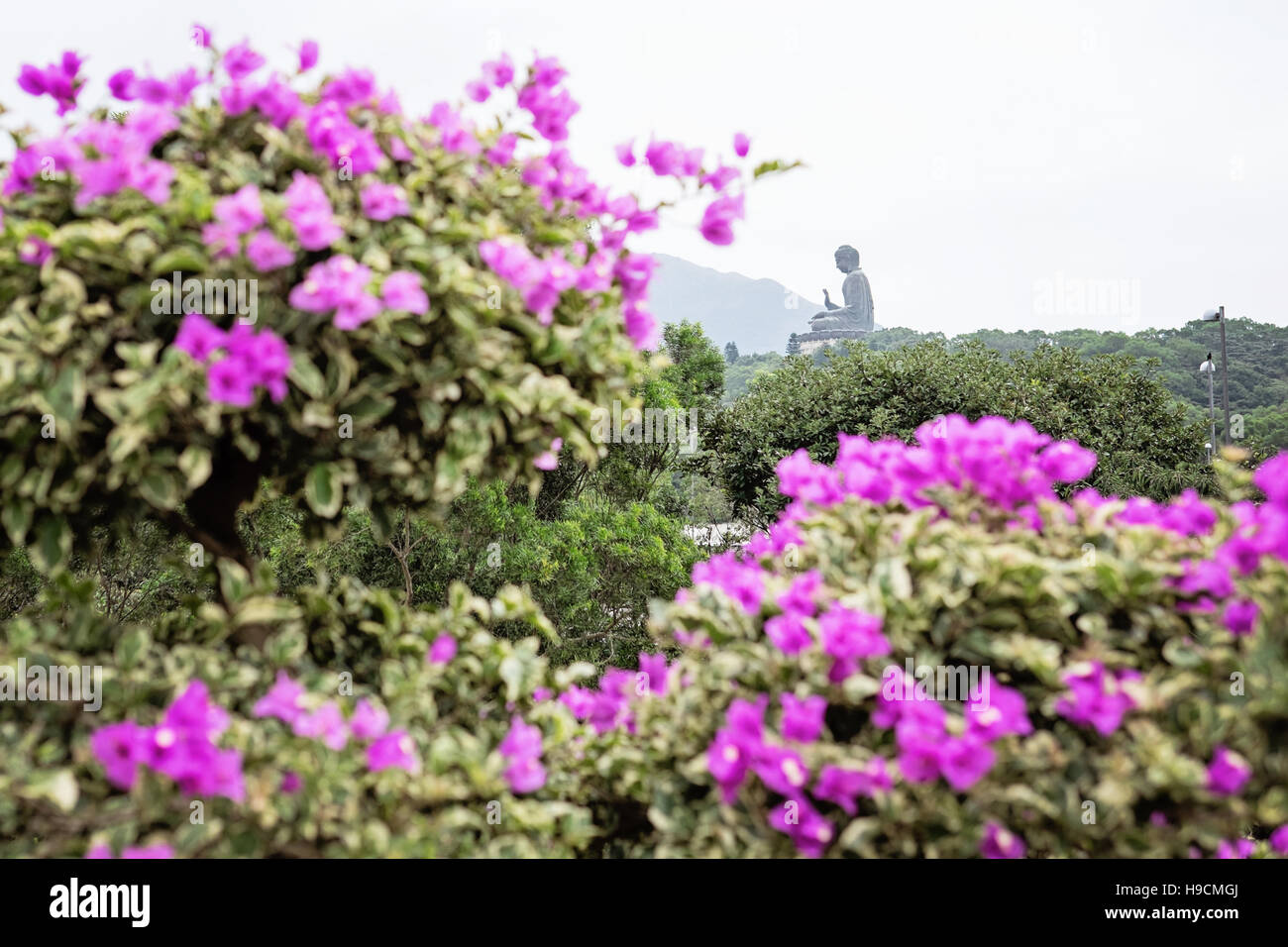 View of Big Buddha through purple bougainvillea flowers | Blick auf den Grossen Buddha durch lila Bougainville Blumen - Stock Image