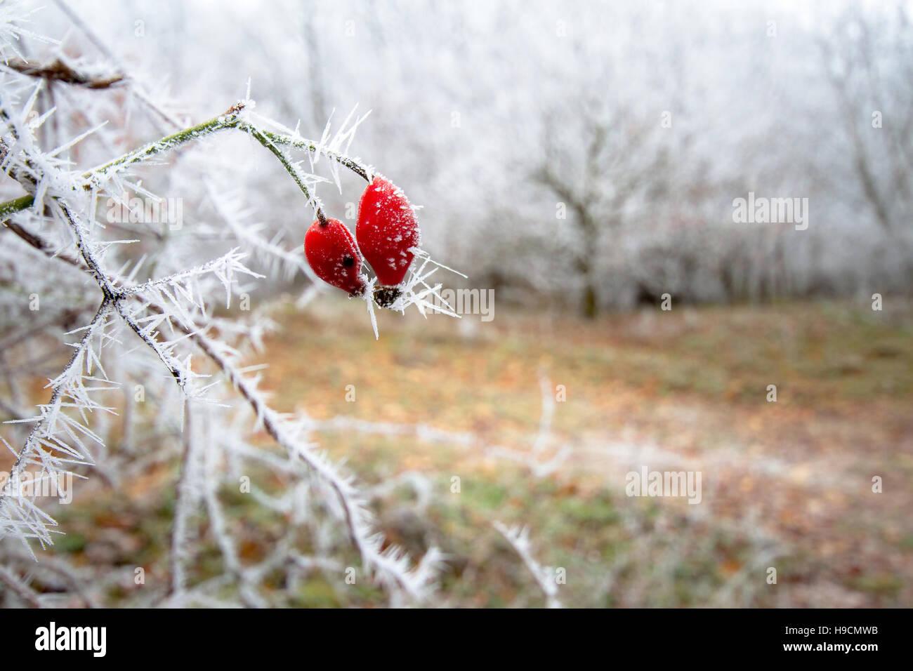 Frozen briar - Stock Image
