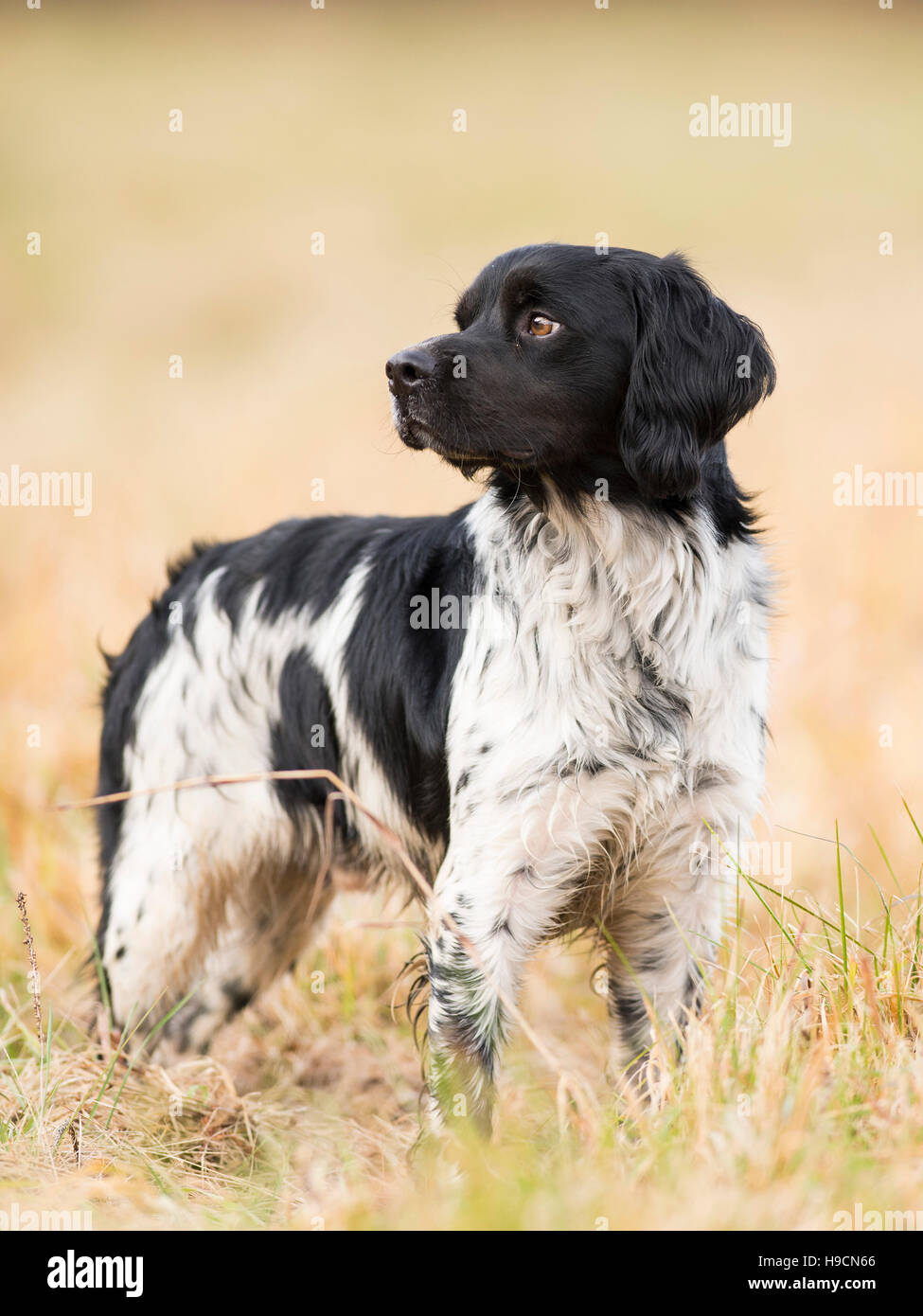 A French Brittany Spaniel Hunting Dog Stock Photo Alamy