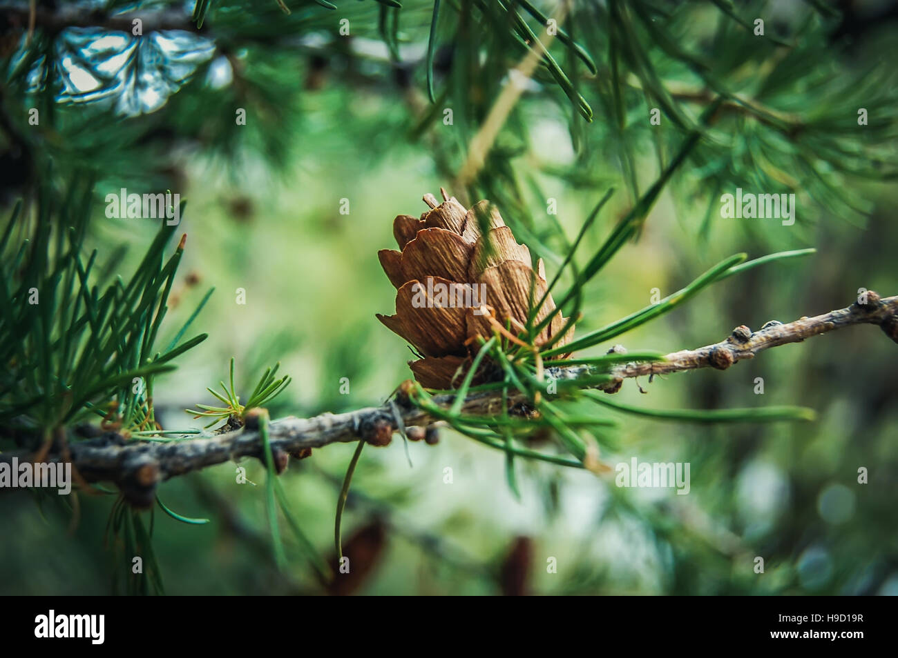 Ovulate cone of larch tree, spring, beginning of June - Stock Image
