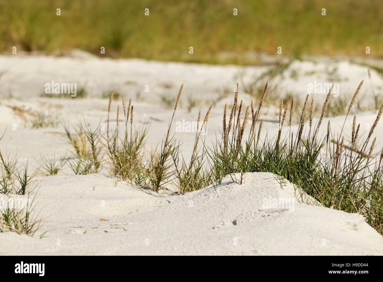 Small unopened sea oats in the sand on the beach. - Stock Image