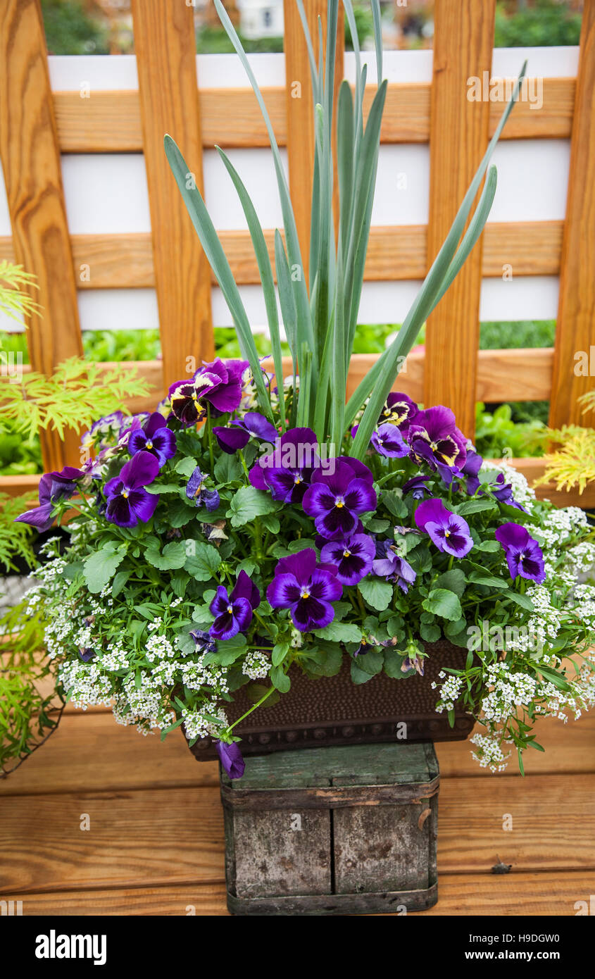 Spring pansies in a planter pot potted flowers stock photo spring pansies in a planter pot potted flowers mightylinksfo