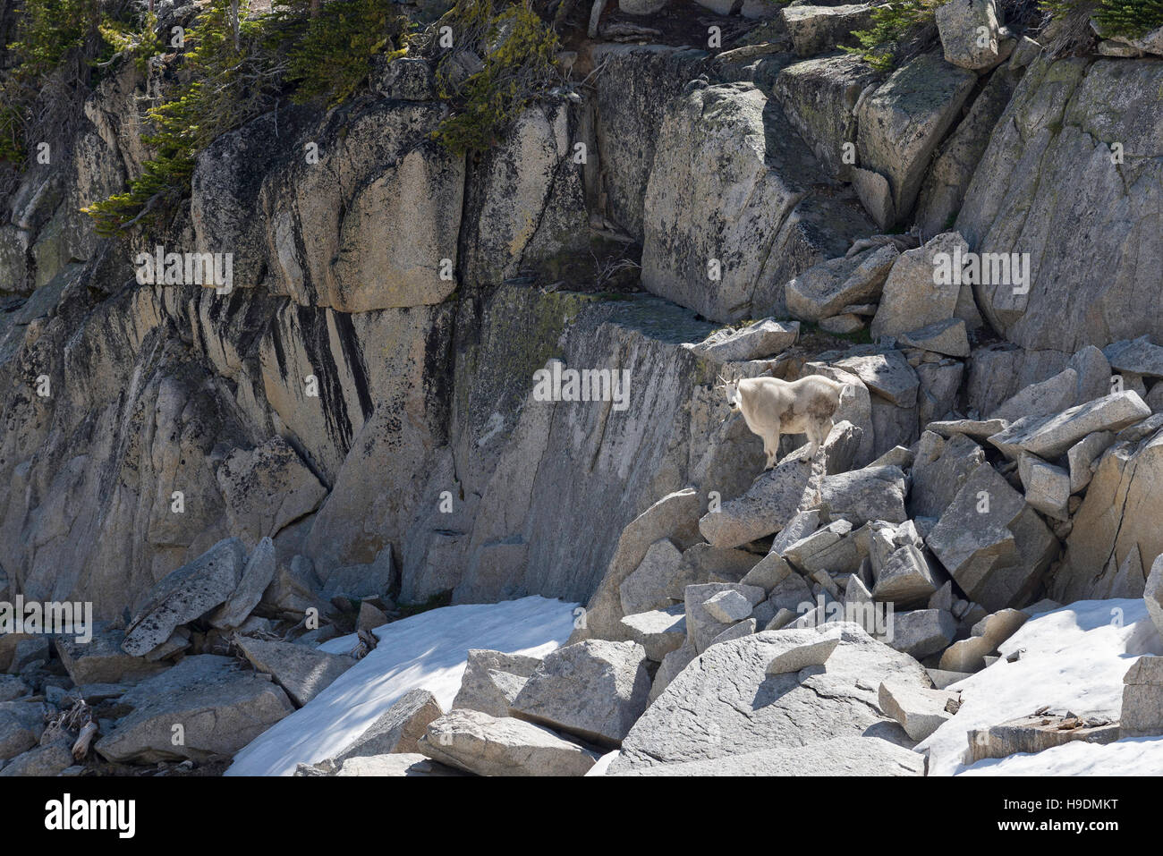 Mountain goat standing on a boulder in Oregon's Wallowa Mountains. Stock Photo