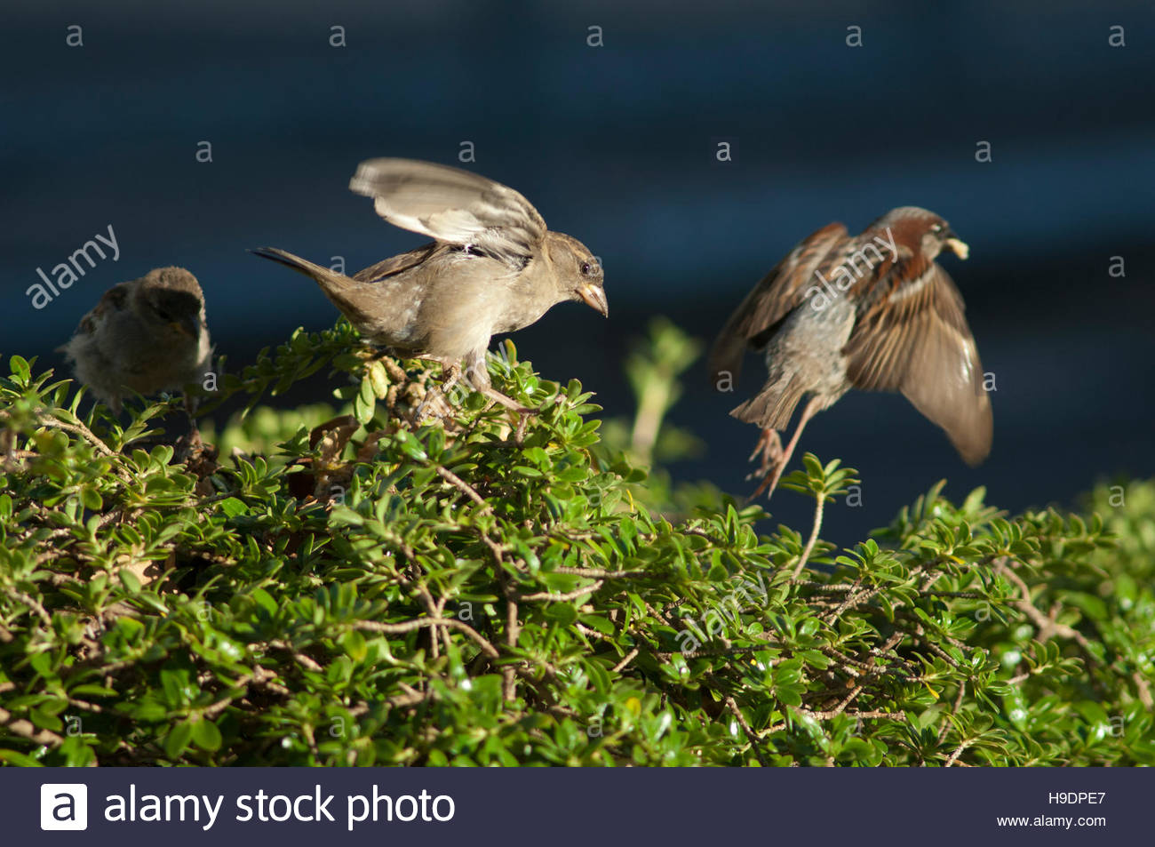House sparrows (Passer domesticus). Female in the foreground. Auckland. North Island. New Zealand. Stock Photo