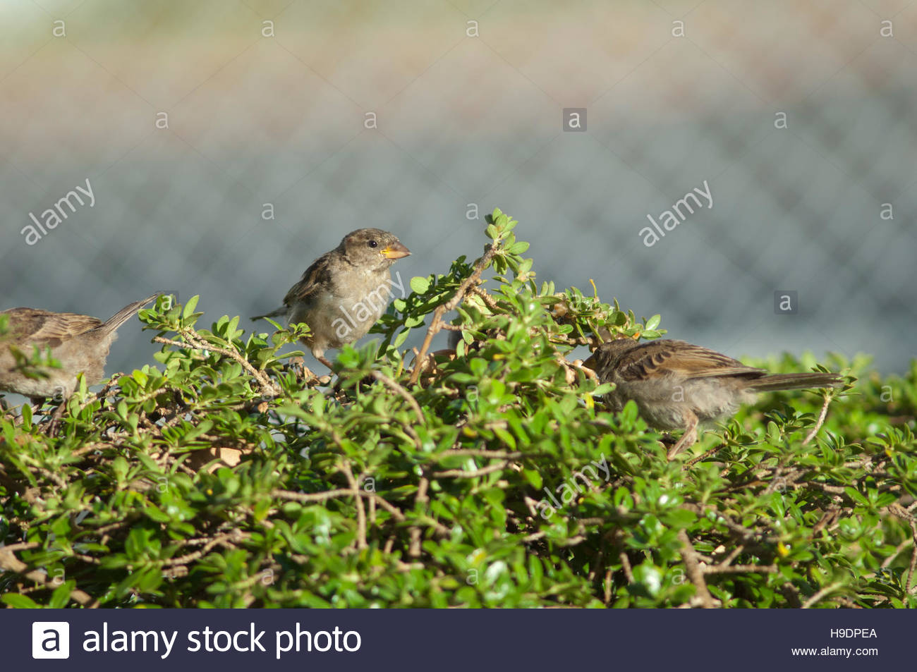 House sparrows (Passer domesticus) feeding. Young male in the middle. Auckland. North Island. New Zealand. Stock Photo