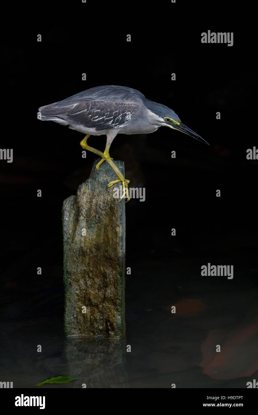 Dramatic portrait of a striated (little) heron - Butorides striata - grasping onto an old wooden post overlooking - Stock Image