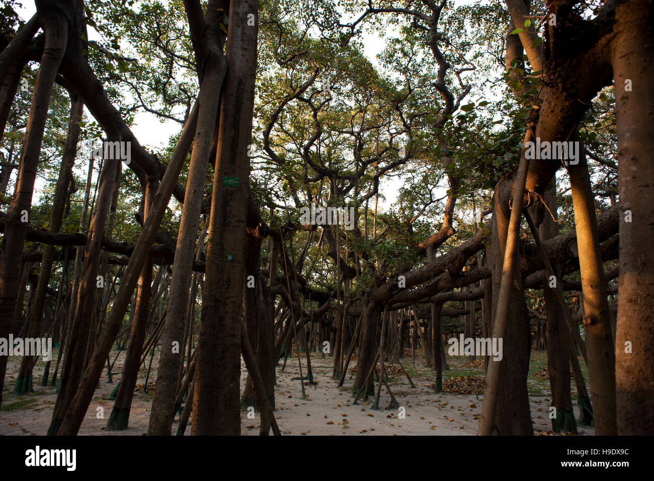 Thought to be 250 years old, the Great Banyan is a tree growing in Howrah, Calcutta, that has the widest canopy - Stock Image