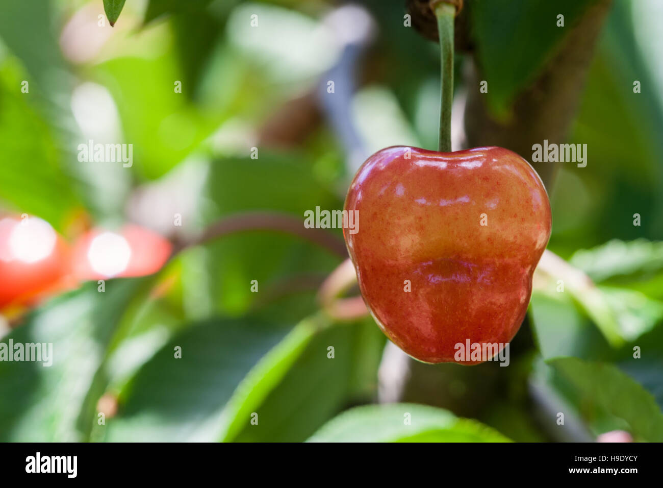 Closeup view of delicious red cherry hanging on a tree with blurred background - Stock Image