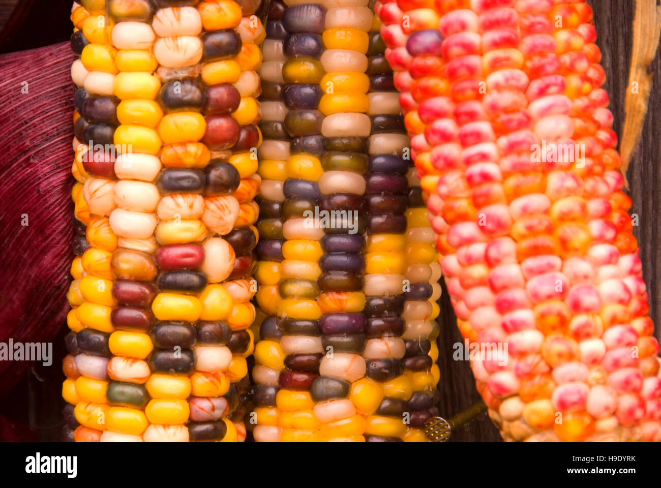 Indian corn at farm stand, Ontario County, New York - Stock Image
