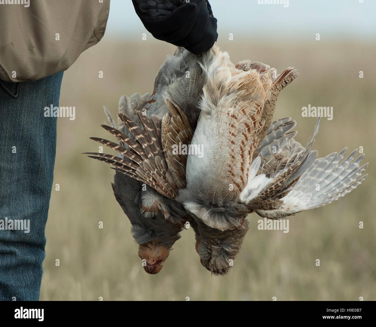 Dead Partridge Stock Photos & Dead Partridge Stock Images