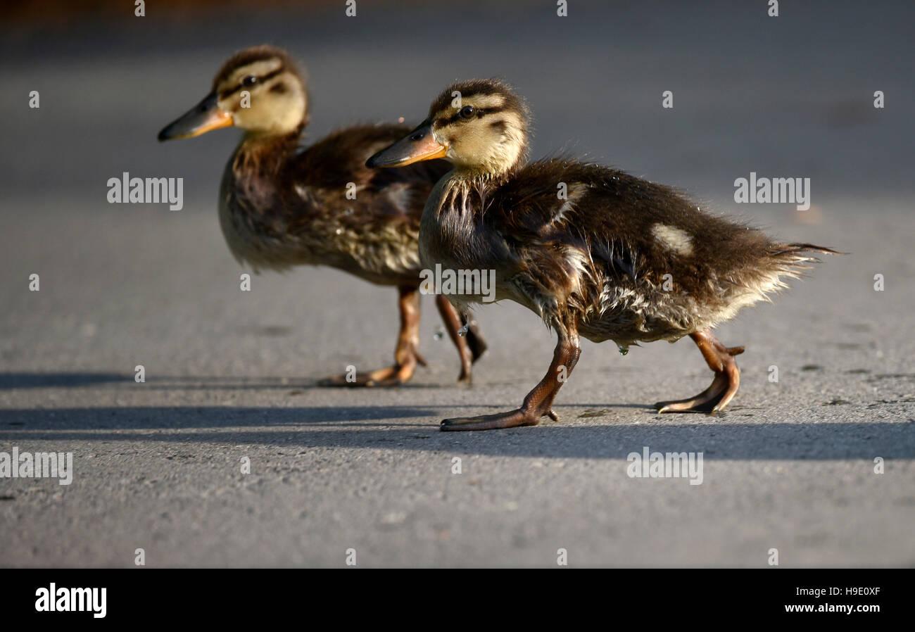 Mallard ducklings (Anas platyrhynchos), walking on asphalt, Baden-Württemberg, Germany - Stock Image