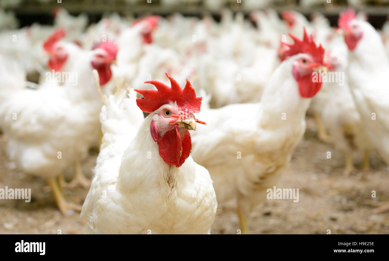 Modern chicken farm, production of white meat - Stock Image