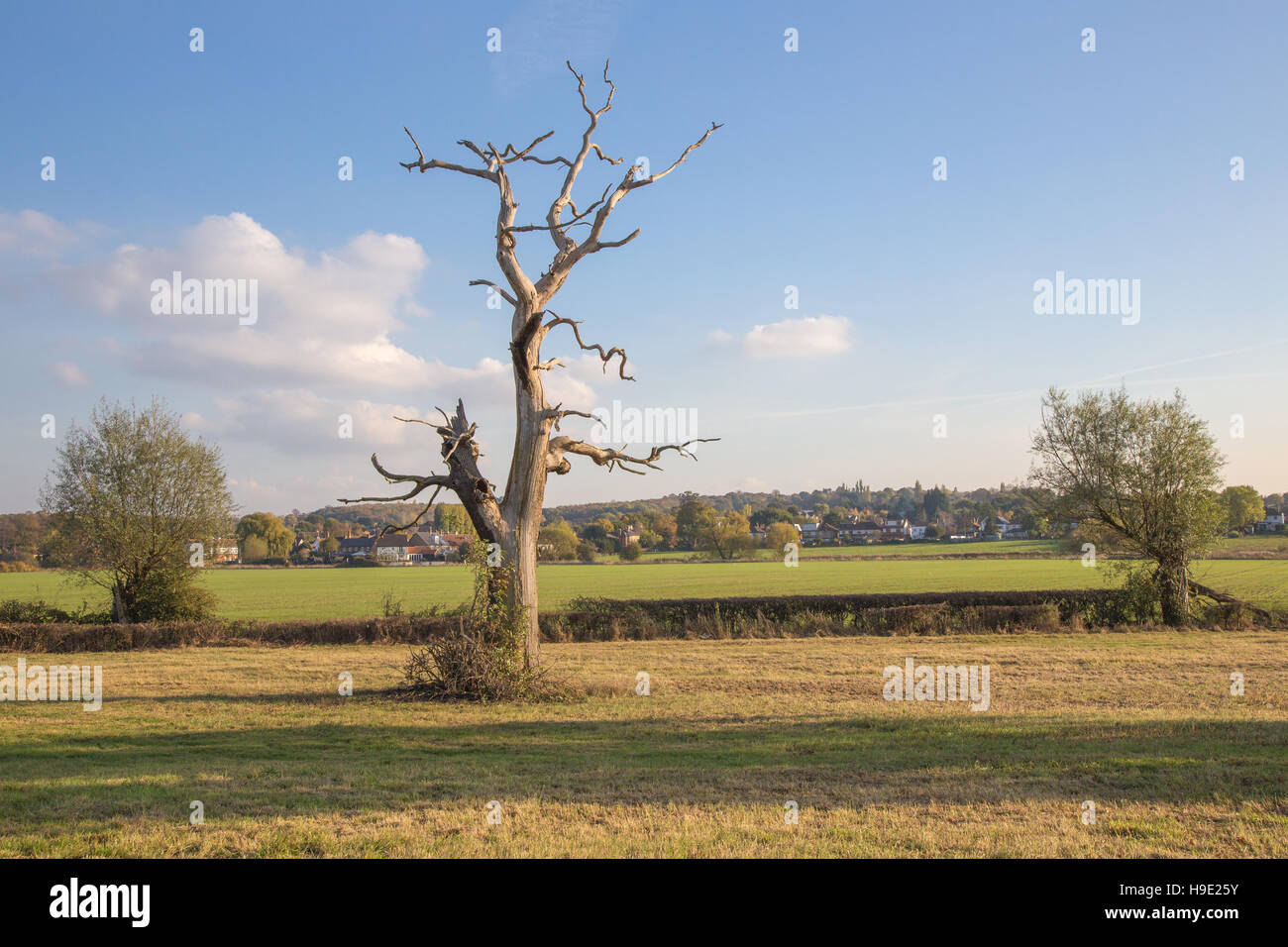 Large dead tree trunk on farmland in the Essex countryside - Stock Image