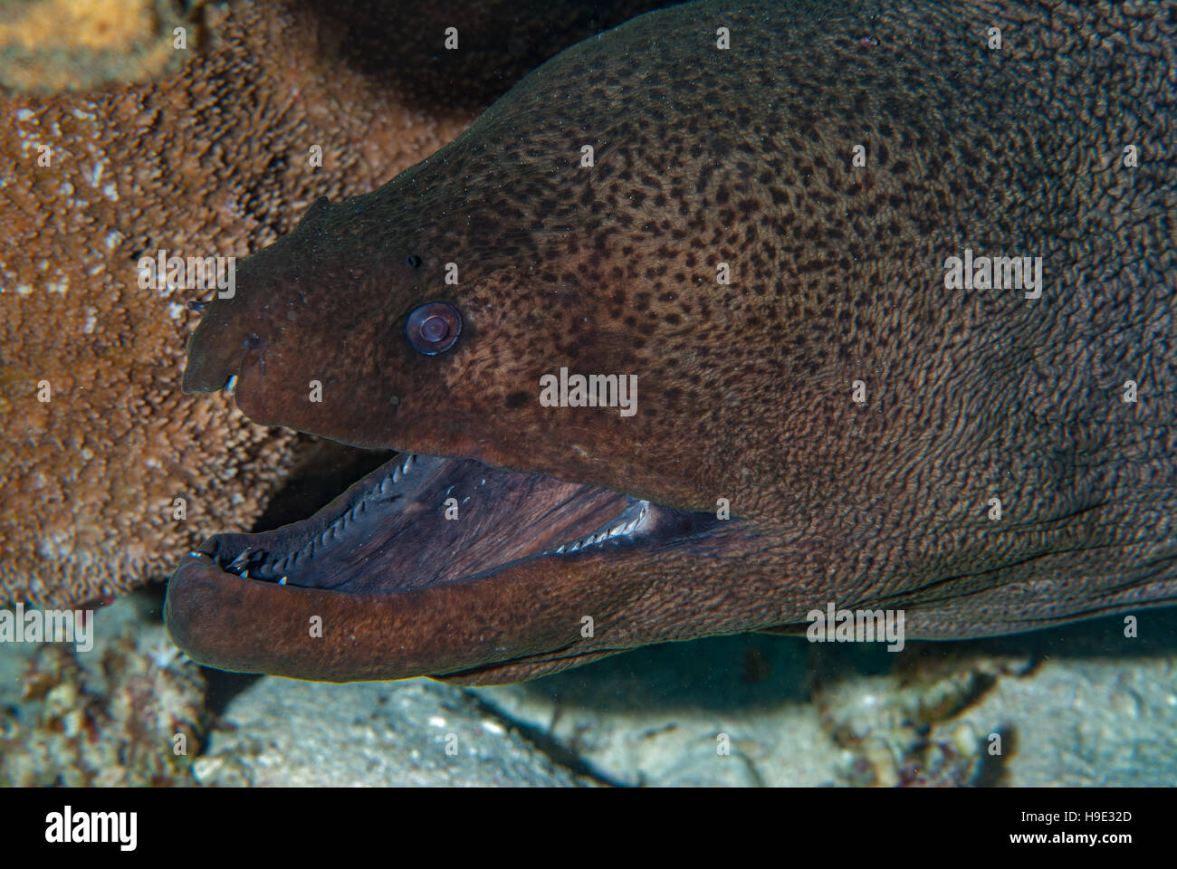 Giant moray, Gymnothorax javanicus, Muraenidae, Sharm el Sheikh, Red Sea, Egypt - Stock Image