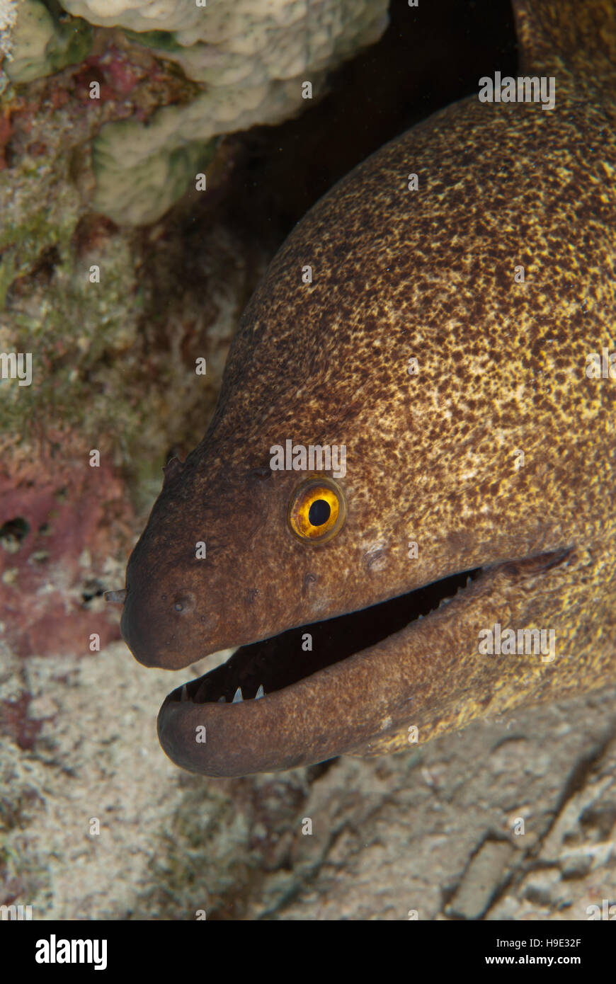 Yellowmargin moray, Gymnothorax flavimarginatus, Muraenidae, Sharm el Sheikh, Red Sea, Egypt - Stock Image