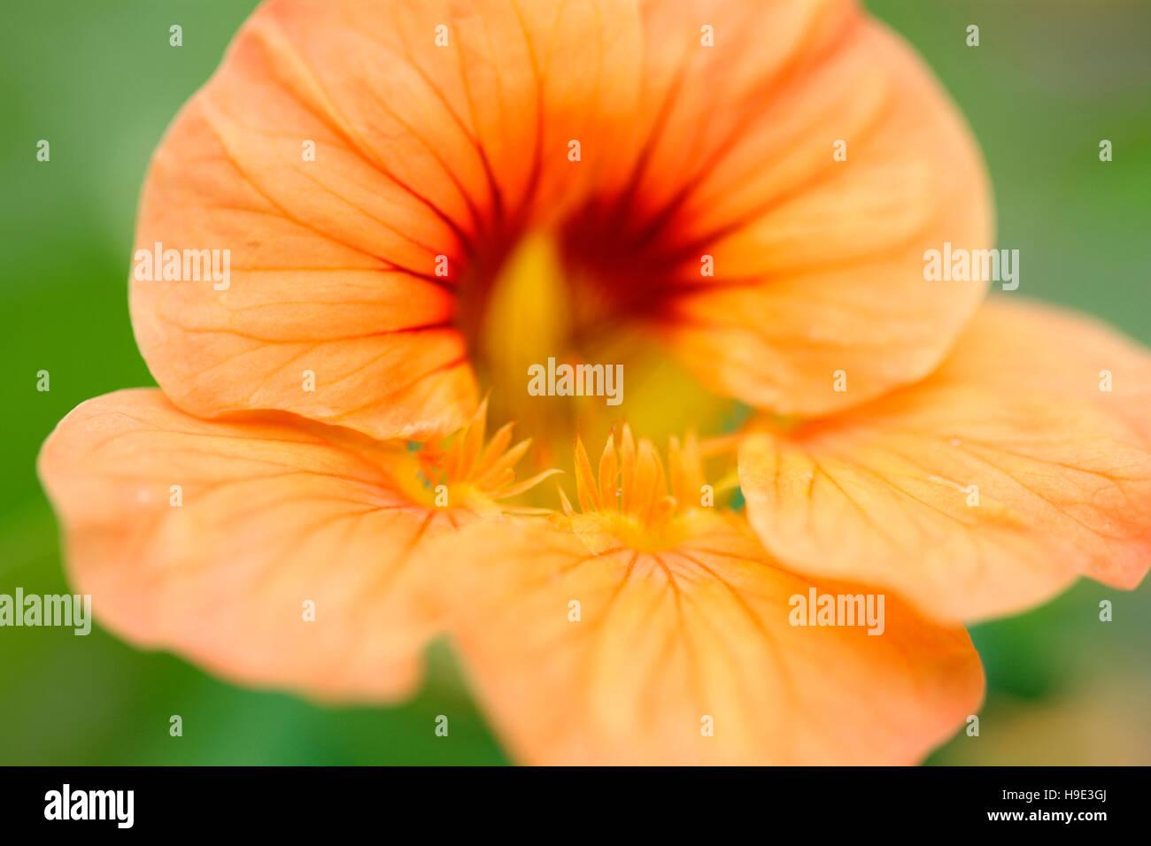 beautiful eye-catching deep orange nasturtium flowers, prolific grower, great in salads  Jane Ann Butler Photography JABP1720 Stock Photo