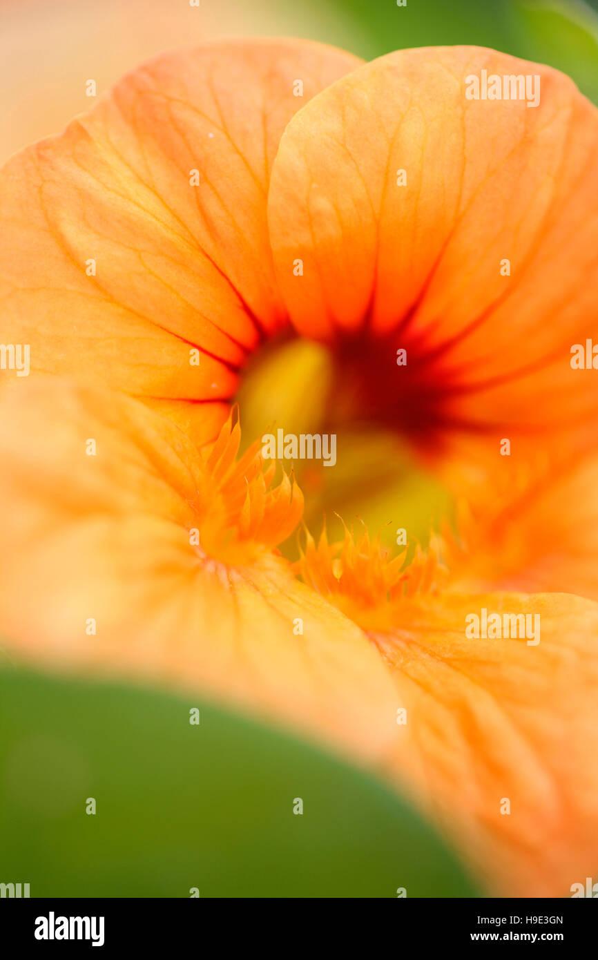 beautiful eye-catching deep orange nasturtium flowers, prolific grower, great in salads  Jane Ann Butler Photography Stock Photo