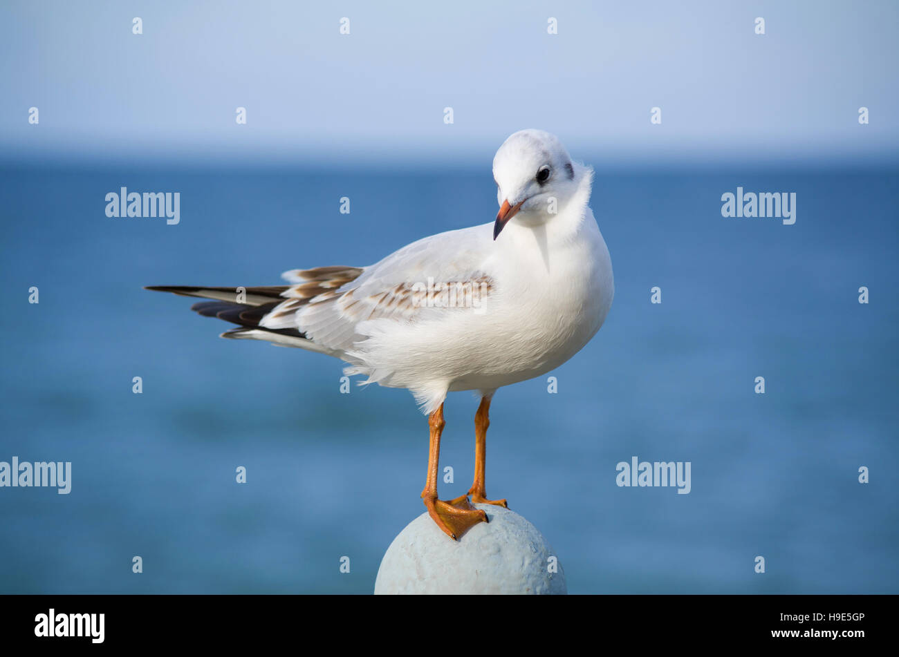 Coquettish little gull on a sea background - Stock Image