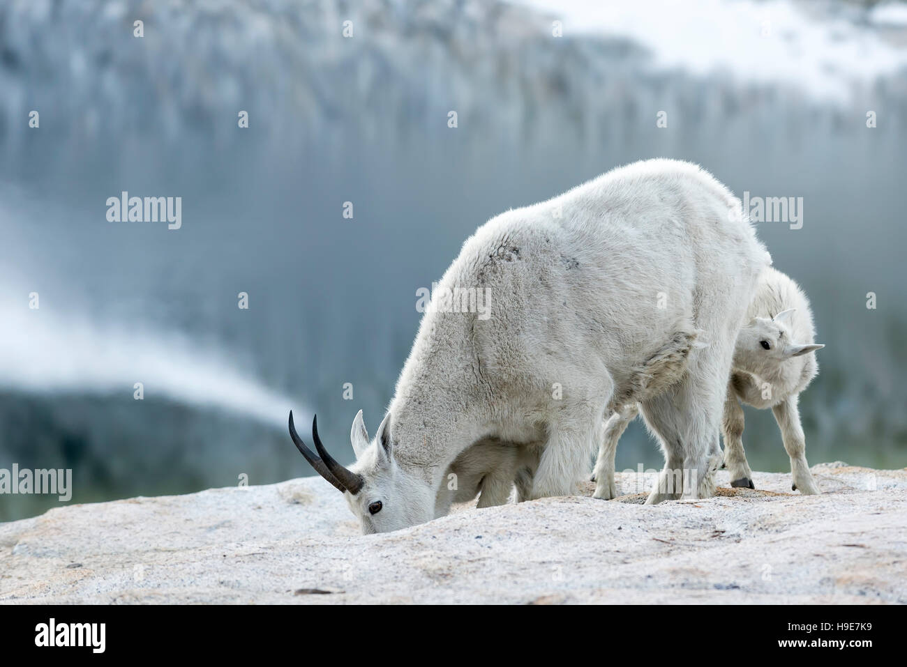 Mountain goat nanny nursing one of her kids, Wallowa Mountains, Oregon. - Stock Image