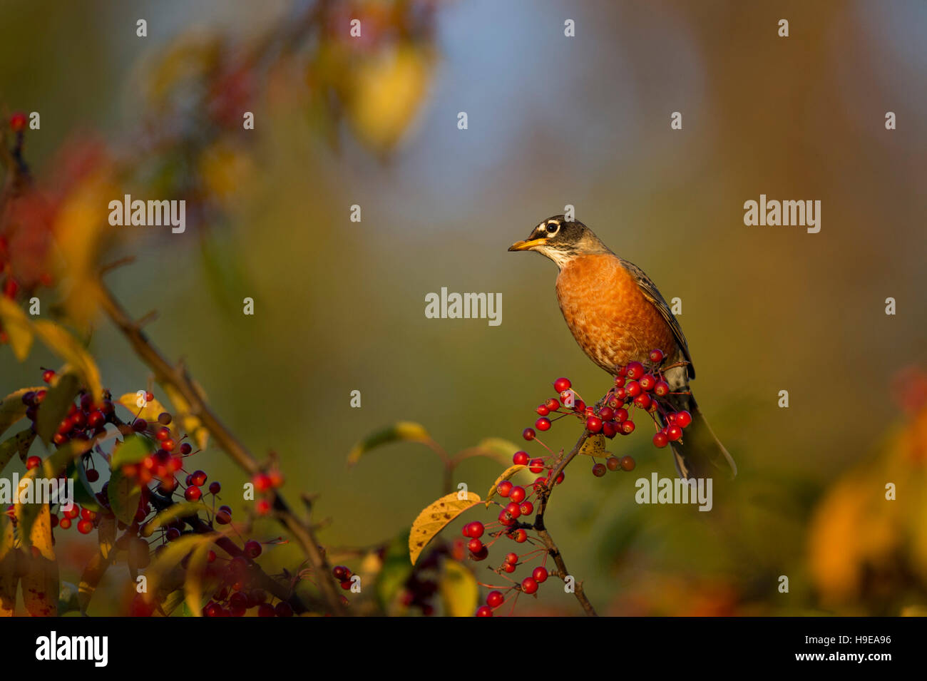 An American Robin perches on a branch covered in bright red berries in the beautiful early morning sunlight on a Stock Photo