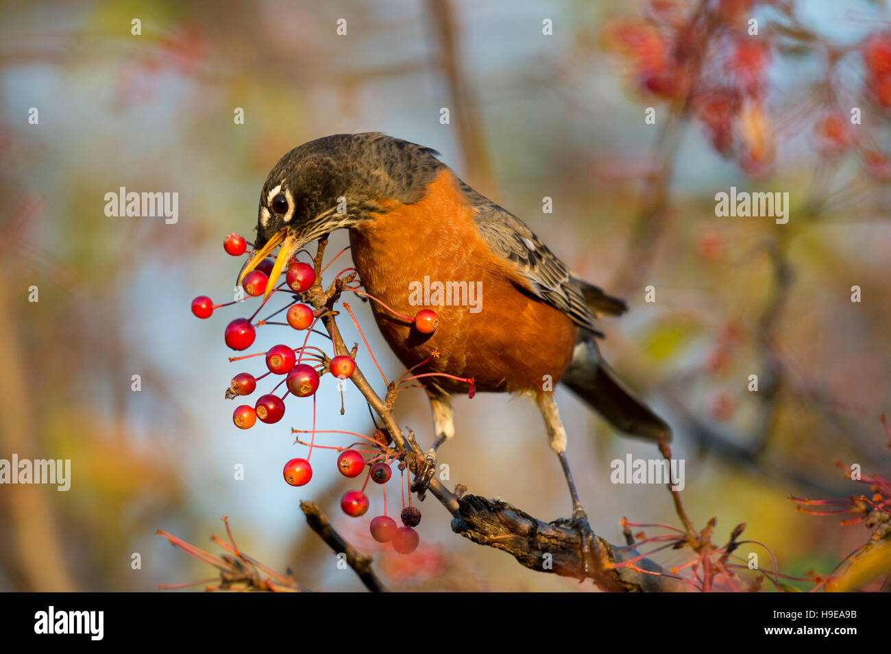 An American Robin stretches to reach a bright red berry on a branch in the morning sun. - Stock Image