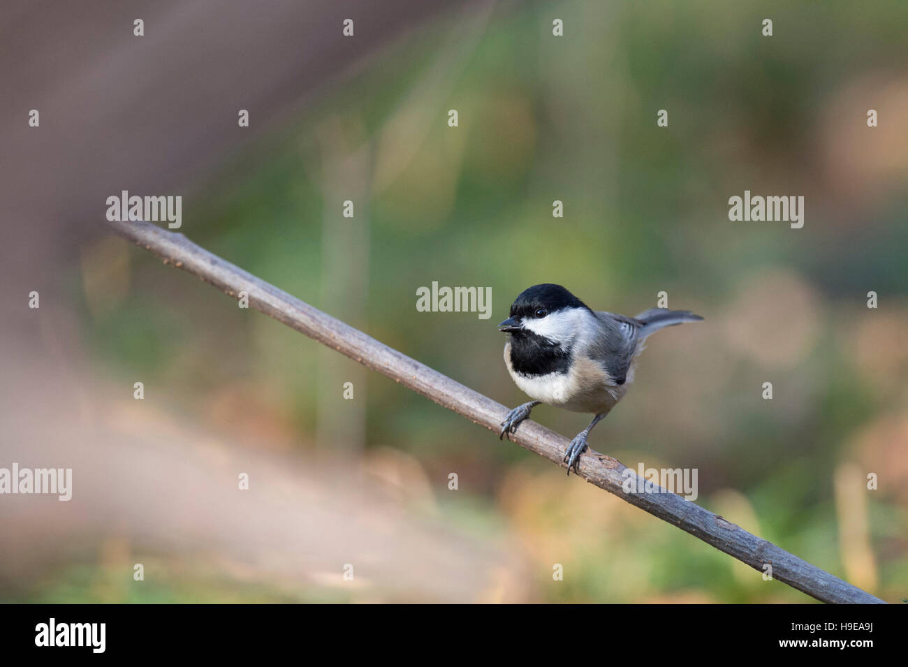 A cute black and white Carolina Chickadee is perched on a tiny branch. - Stock Image