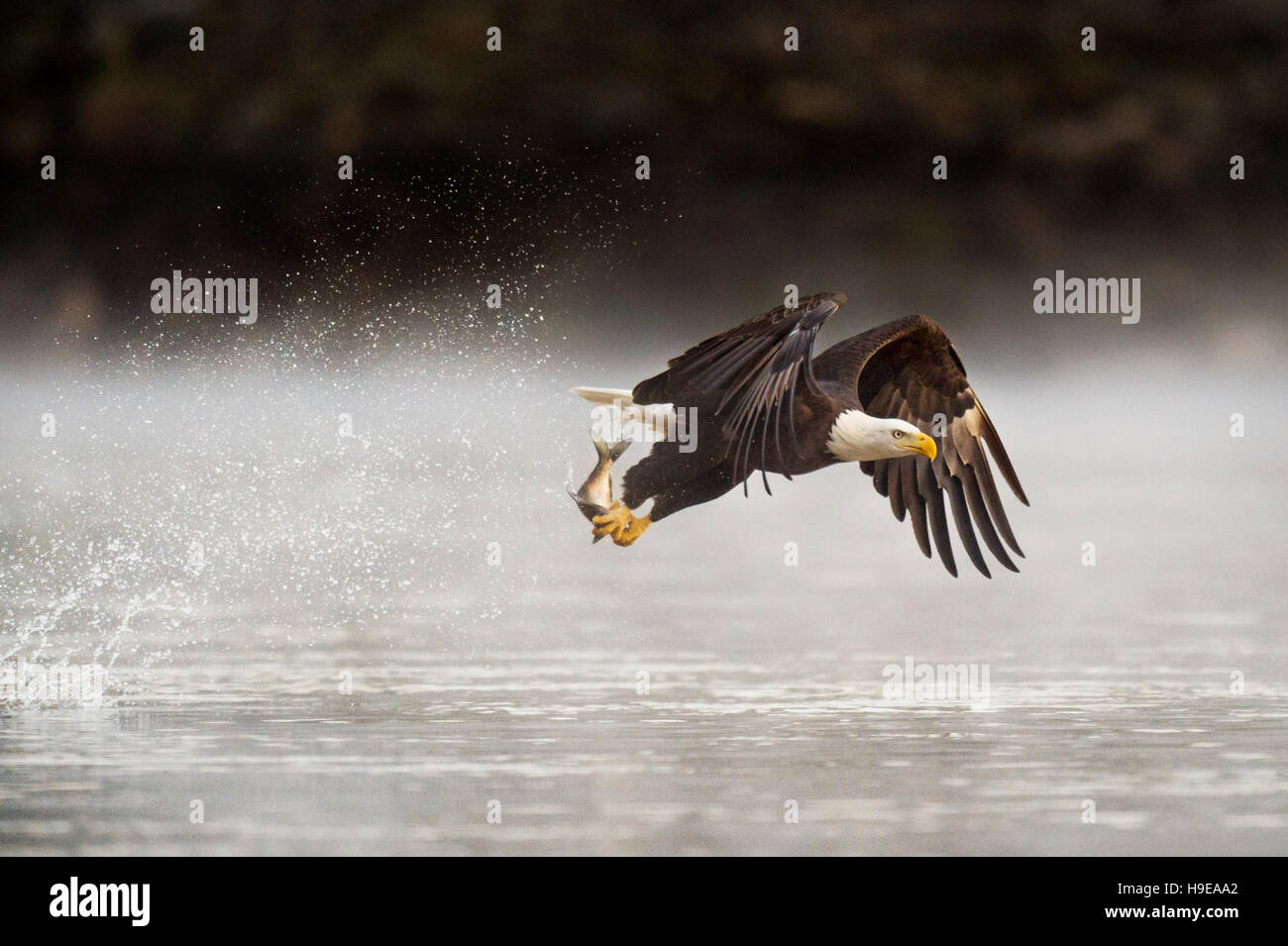 An adult Bald Eagle grabs a fish from the water early one morning with a big splash behind it as it flies away. - Stock Image