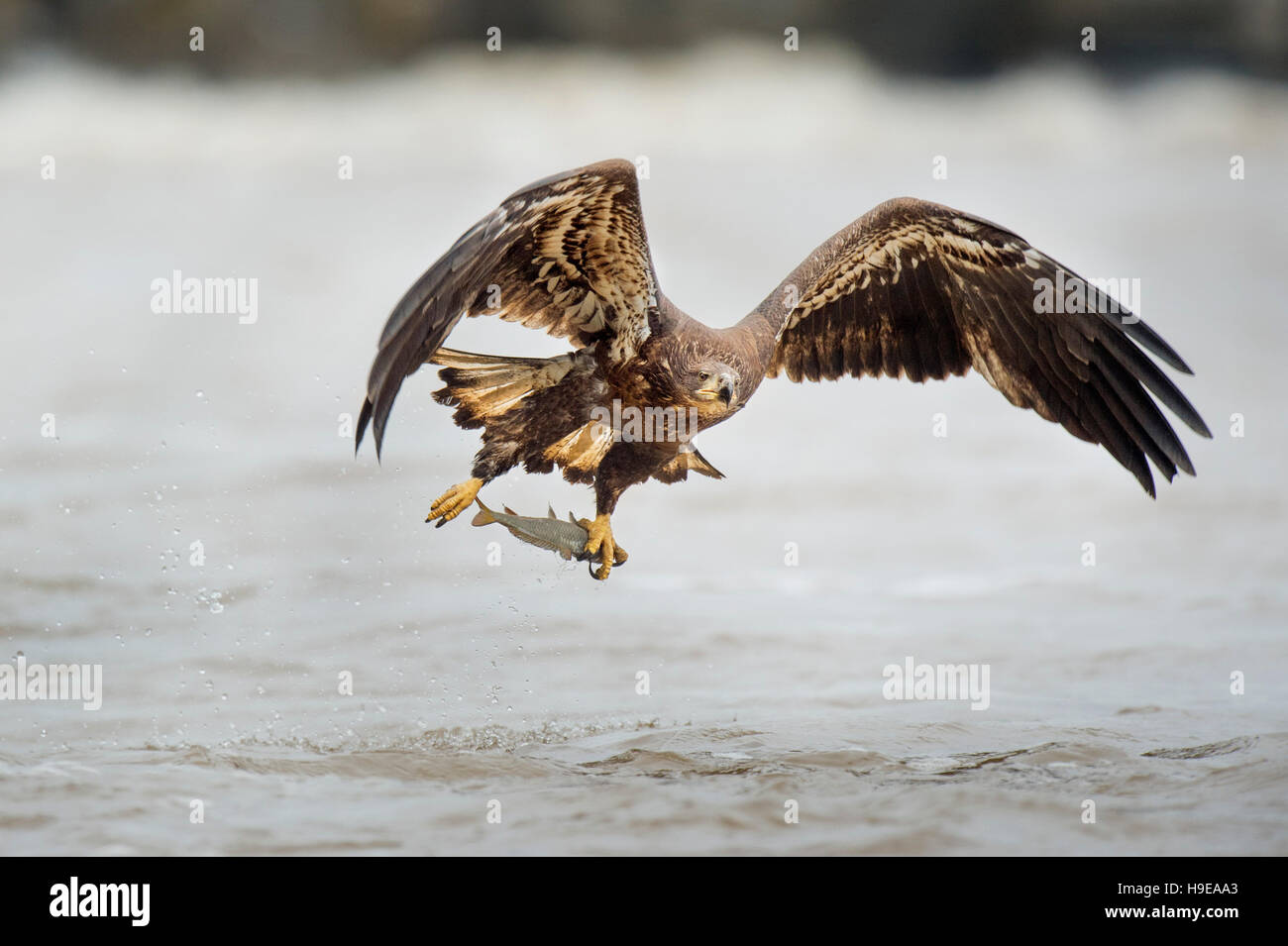 A juvenile Bald Eagle flies low over the water just after grabbing a fish in its large yellow talons. Stock Photo