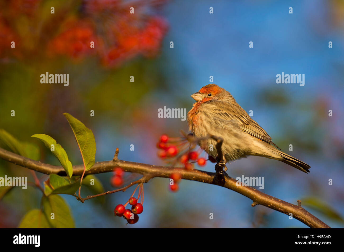 A male House Finch sits perched on a branch full of red berries as the early morning sun shines on him. - Stock Image