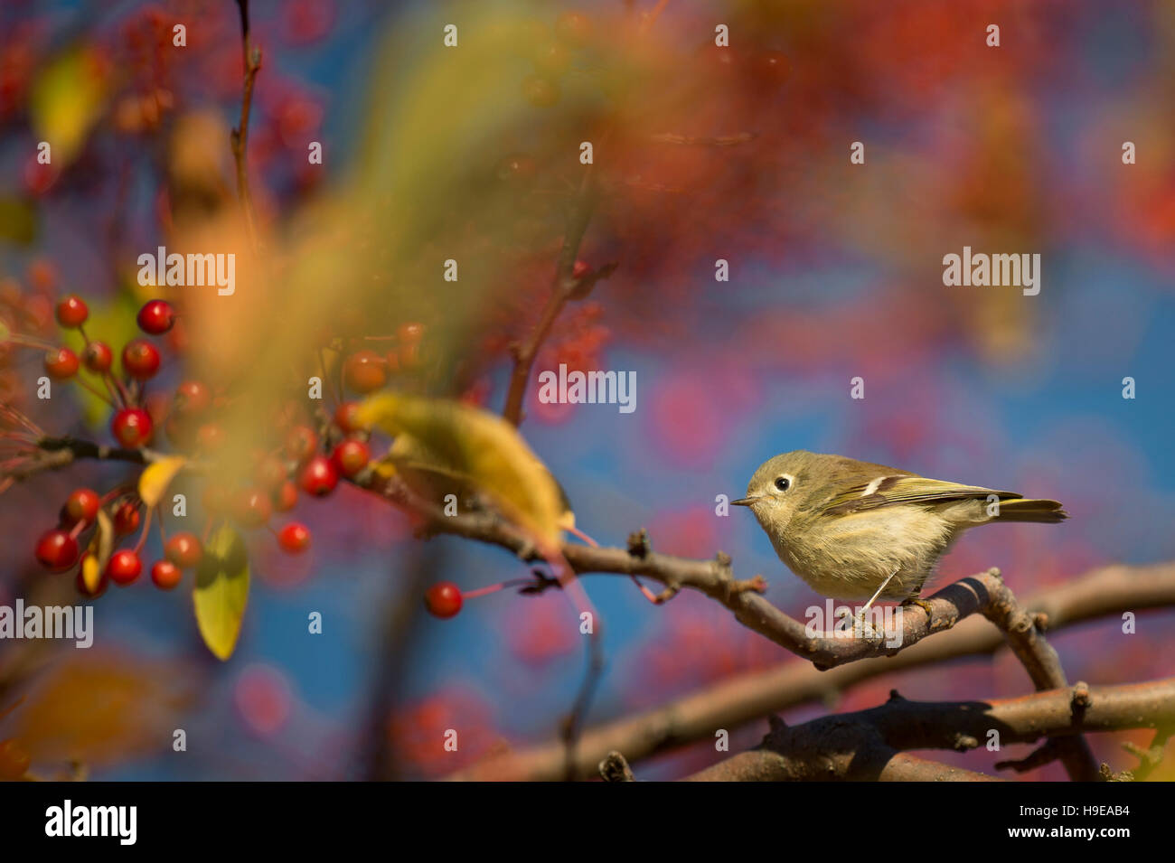 A tiny Ruby-crowned Kinglet perches on a branch in a tree full of bright red berries on a sunny fall morning. - Stock Image