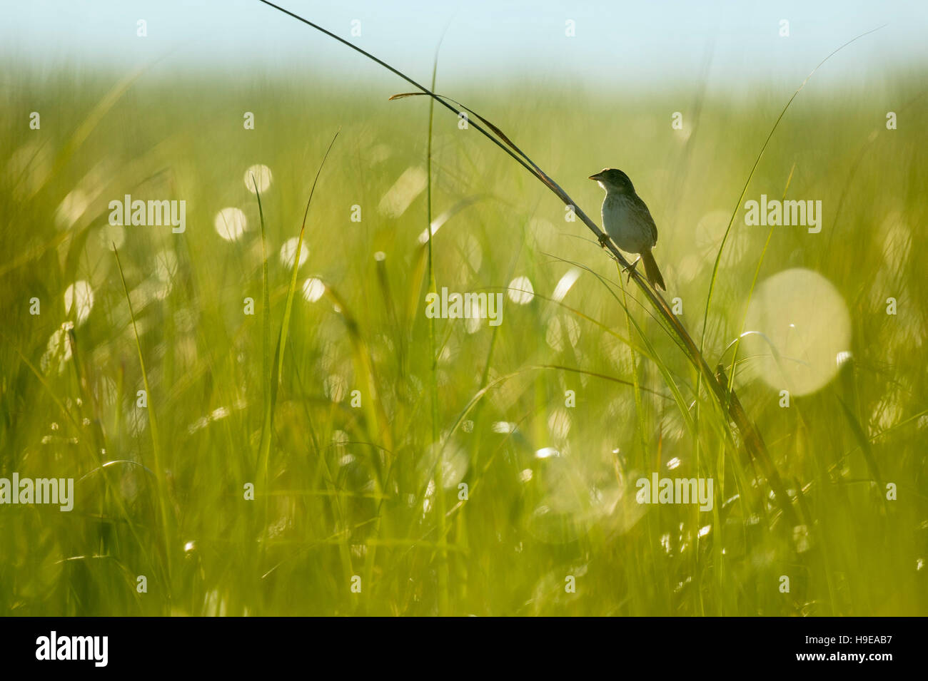 A Seaside Sparrow perches on on of the taller pieces of marsh grass as the early morning sun shines from behind - Stock Image