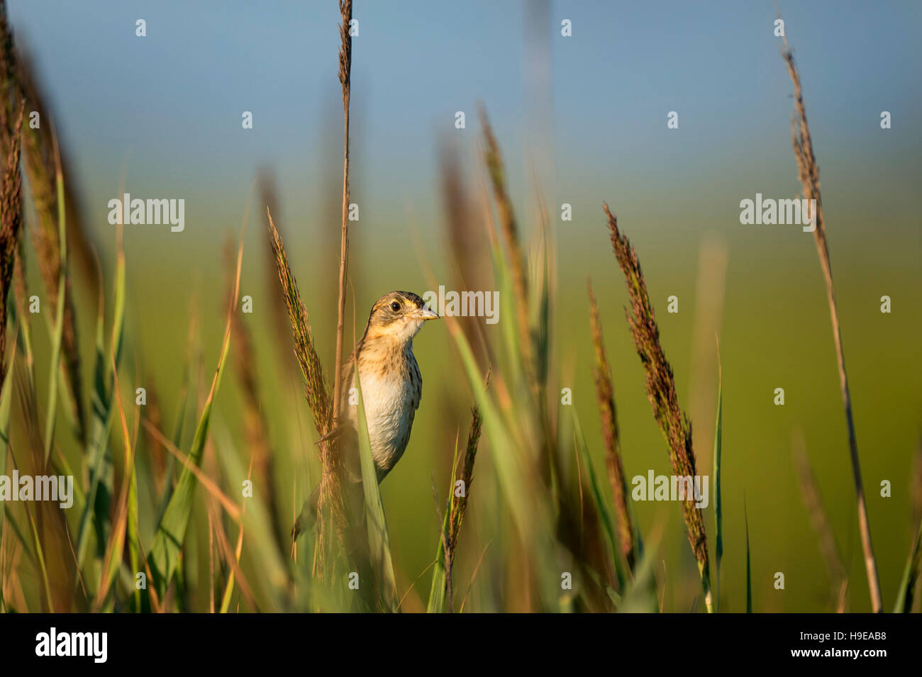 A Seaside Sparrow sits tall on marsh grass in the morning sun. - Stock Image